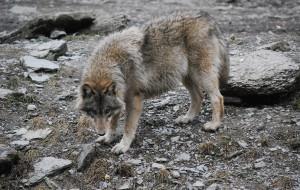 Barren wolf